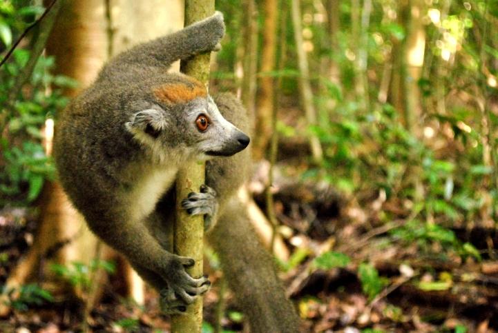 Lemur in Ankarana by Sally Bull
