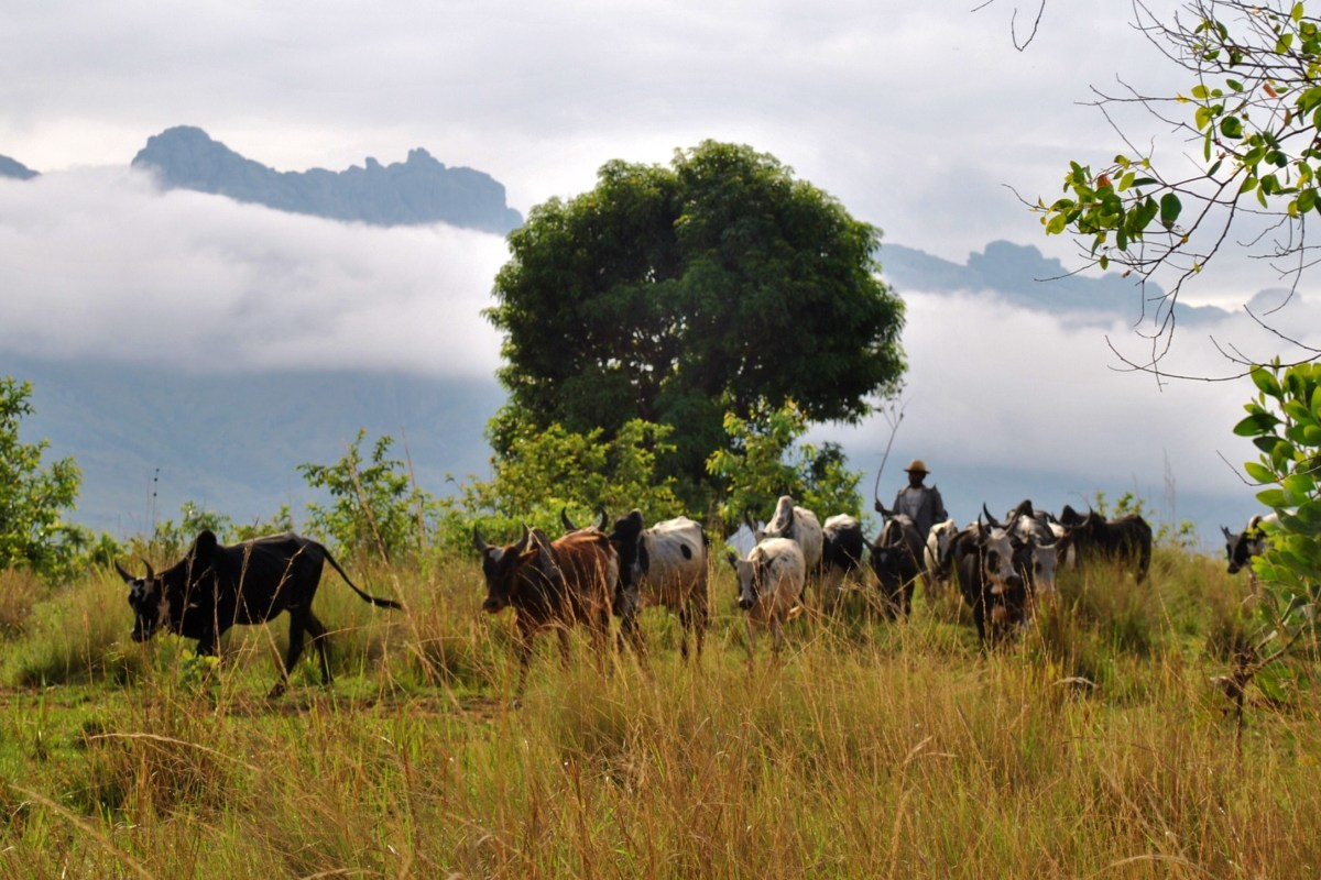Cow herder in Madagascar