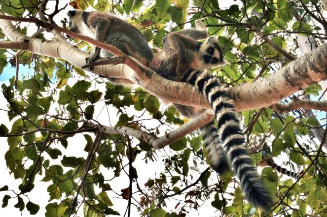 Camp Catta Lemurs