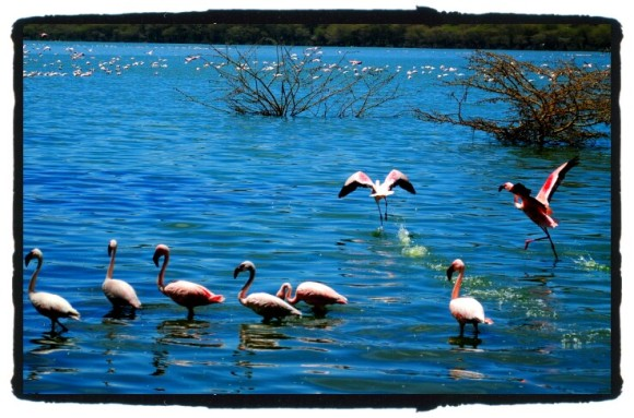 Flamingos in Lake Naivasha