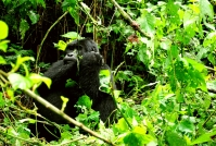 What it's Like Gorilla Trekking in Uganda