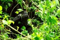 What it's Like Gorilla Trekking inUganda