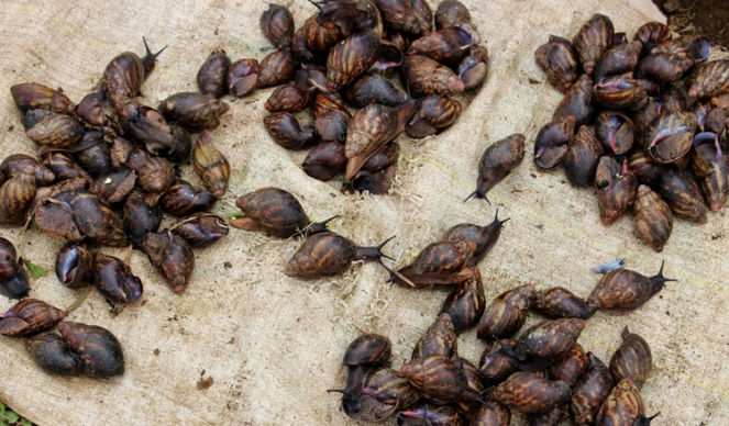Snails in Cameroon Market
